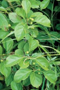ob leaf
