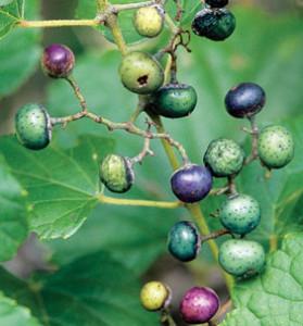 pberry berry